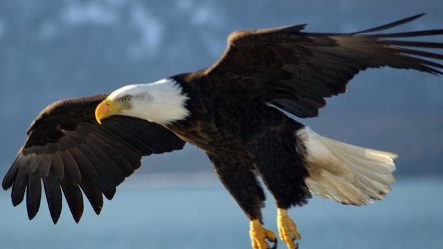 Kentucky Bald Eagle Population Growth Taking Off