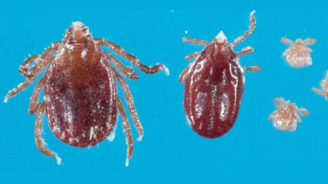 WVDA Says Exotic Tick Found in West Virginia