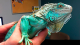 Police: Man accused of throwing iguana in restaurant